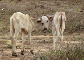 Many calves in drought-stricken regions of Ethiopia may not survive.